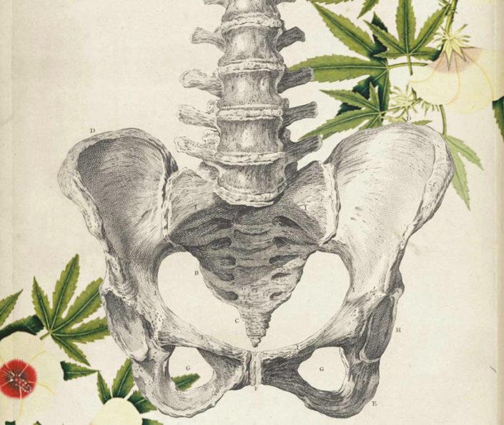 dibujo de los huesos de la pelvis