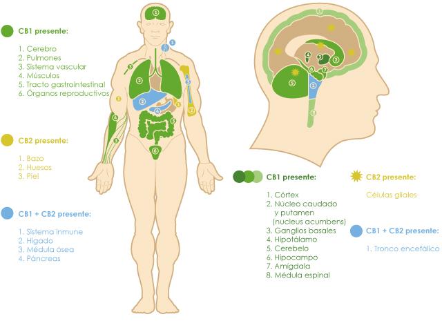 cuerpo humano y cerebro con receptores cannabinoides