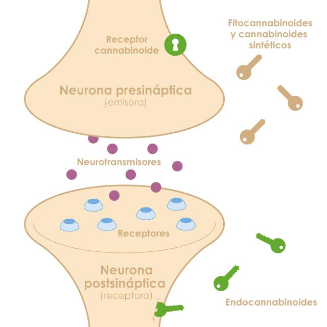 células del sistema endocannabinoide
